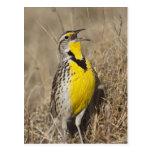 Western Meadowlark (Strunella neglecta) in Postcard