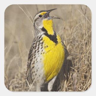 Western Meadowlark (Strunella neglecta) in Square Sticker