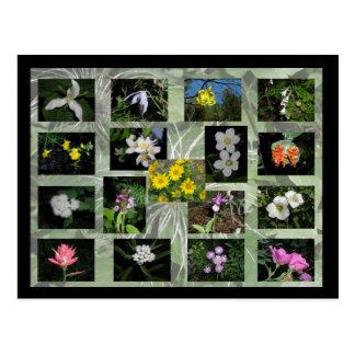 Western Montana Wildflowers Postcard