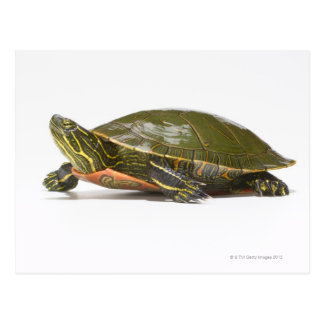 Western painted turtle (Chrysemys picta bellii), Postcard