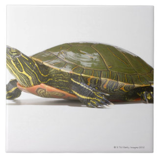 Western painted turtle (Chrysemys picta bellii), Tile