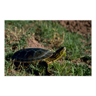 Western Painted Turtle Posters