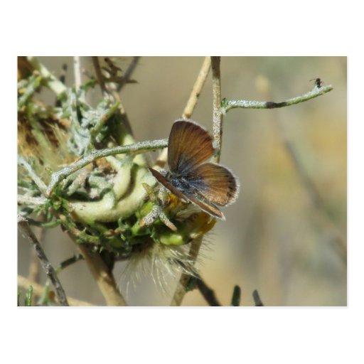 Western Pygmy Blue Butterfly Postcard