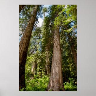 Western Red Cedar Trees Poster