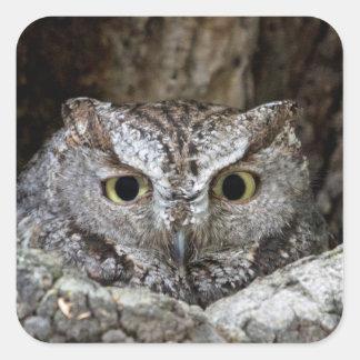 Western Screech Owl Square Stickers
