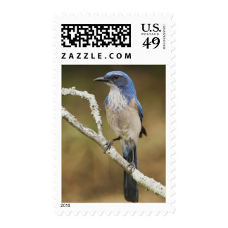 Western Scrub-Jay, Aphelocoma californica, adult Stamps