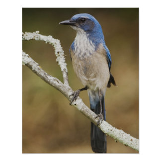 Western Scrub-Jay, Aphelocoma californica, adult Poster