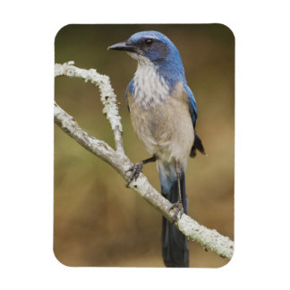 Western Scrub-Jay, Aphelocoma californica, adult Rectangular Photo Magnet