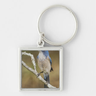 Western Scrub-Jay, Aphelocoma californica, adult Silver-Colored Square Keychain