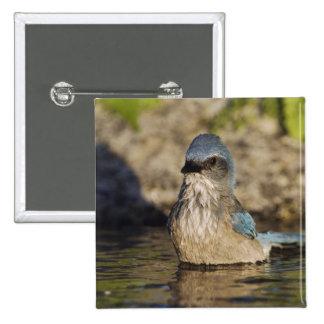 Western Scrub-Jay, Aphelocoma californica, Button