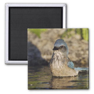 Western Scrub-Jay, Aphelocoma californica, Magnet