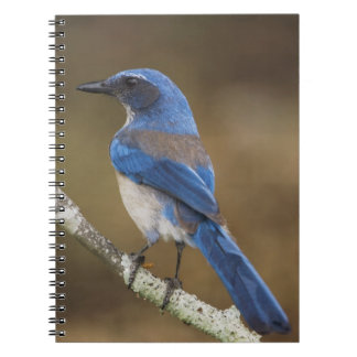 Western Scrub-Jay Aphelocoma californica Spiral Note Books