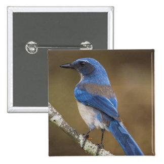 Western Scrub-Jay,  Aphelocoma californica, Pinback Button