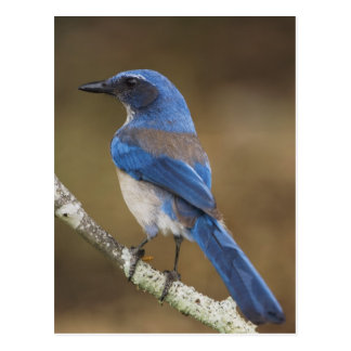 Western Scrub-Jay,  Aphelocoma californica, Postcards