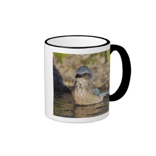 Western Scrub-Jay, Aphelocoma californica, Ringer Coffee Mug