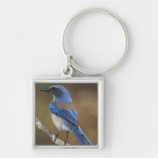 Western Scrub-Jay,  Aphelocoma californica, Silver-Colored Square Keychain