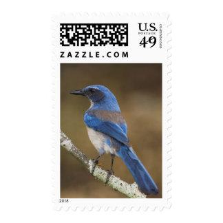 Western Scrub-Jay,  Aphelocoma californica, Stamp