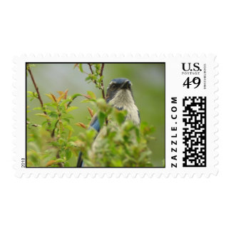 Western Scrub -Jay Stamp