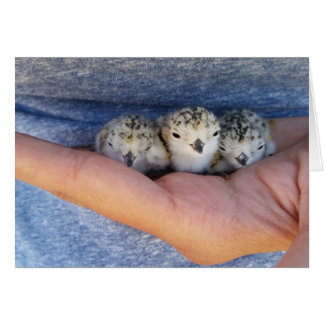 Western Snowy Plover Chicks Card