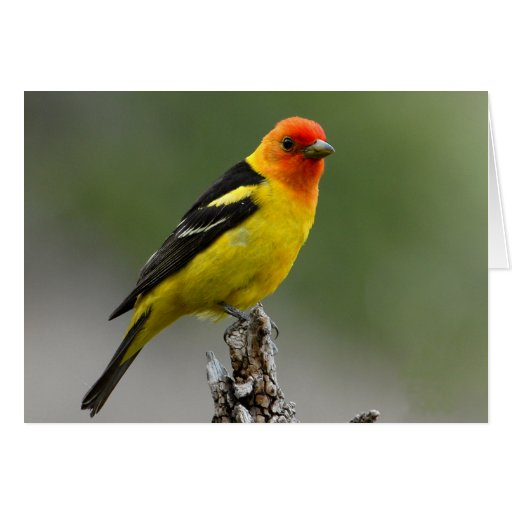 Western Tanager Photograph Cards