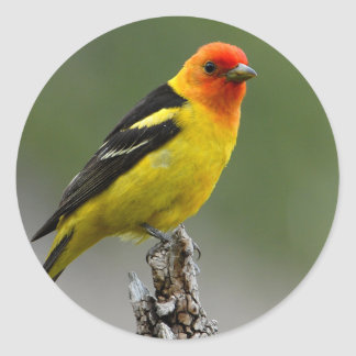 Western Tanager Photograph Classic Round Sticker