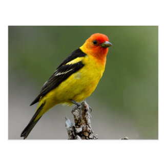 Western Tanager Photograph Postcard