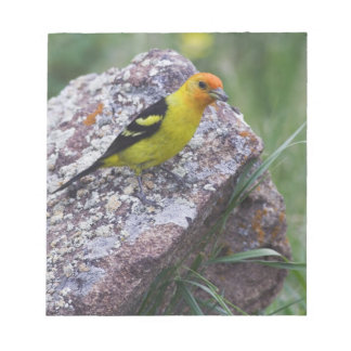 Western Tanager, Piranga ludoviciana, adult male Notepad