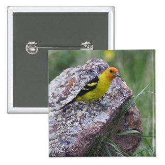 Western Tanager, Piranga ludoviciana, adult male Pinback Button