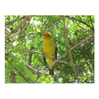 Western Tanager Postcard