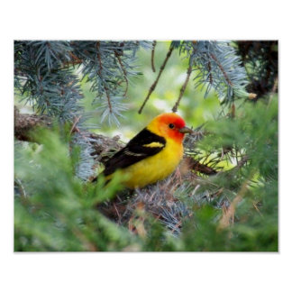Western Tanager Print