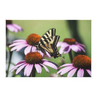 Western Tiger Swallowtail Butterfly On Echinacea Stretched Canvas Print