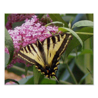 Western Tiger Swallowtail butterfly on pink lilacs Poster