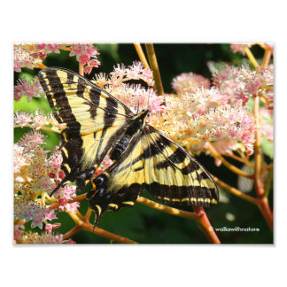 Western Tiger Swallowtail Butterfly on Rodgersia Photo Print