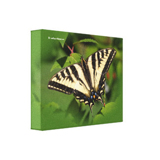 Western Tiger Swallowtail Butterfly on the Fuchsia Canvas Print