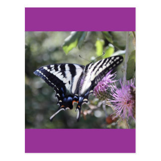 Western Tiger Swallowtail Butterfly Post Cards