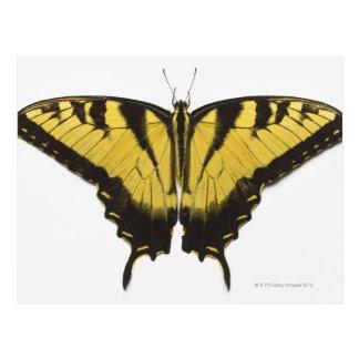 Western Tiger Swallowtail Butterfly Postcard