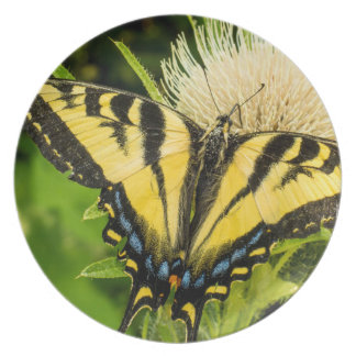 Western Tiger Swallowtail on a thistle Plate
