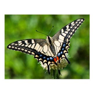 Western tiger swallowtail (Papilio rutulus) Postcard