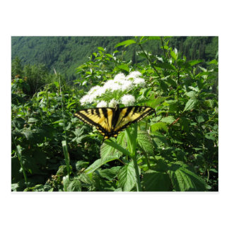 Western Tiger Yellowtail Butterfly Postcard