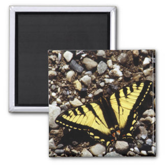 Western Yellow Swallowtail (4) 2 Inch Square Magnet