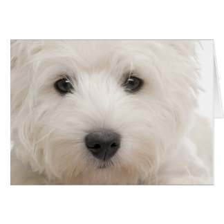 Westie Close-up Card