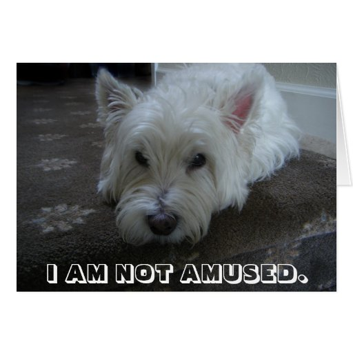 westie not amused photo greeting card zazzle. Black Bedroom Furniture Sets. Home Design Ideas