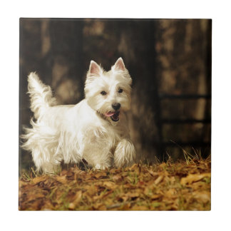 Westie on the move tile