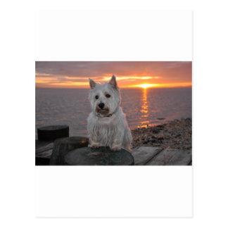 Westie Sunset Postcard
