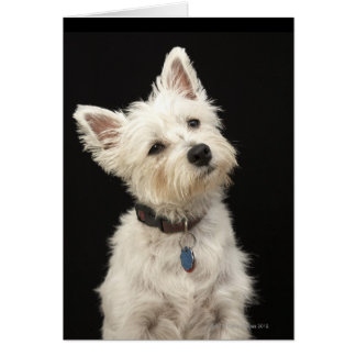 Westie (West Highland terrier) with collar Card