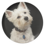 Westie (West Highland terrier) with collar Dinner Plates
