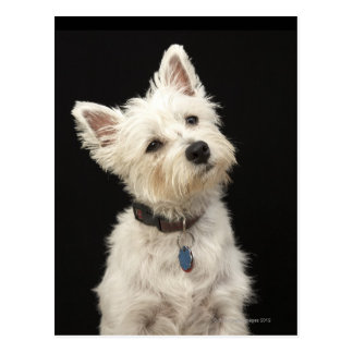 Westie (West Highland terrier) with collar Postcard