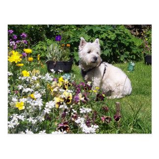 Westie, West Highland White Terrier Postcard
