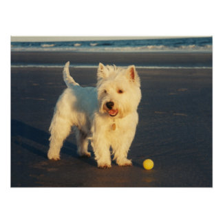 Westie with a Yellow Ball Poster