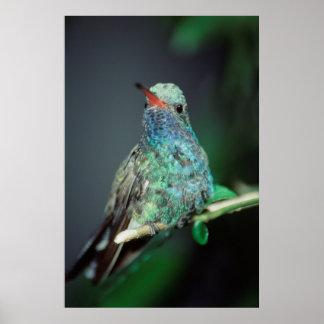 Westmorland, Westmorland Tobaso, Hummingbird Poster